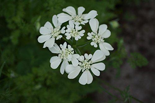 オルレア ホワイトレース 種子 100粒