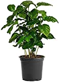 American Plant Exchange Arabica Coffee Real Live Plant, 6' Pot, Flowering Indoor Outdoor Air Purifier