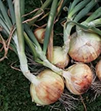 Walla Walla Sweet Spanish Onion Seeds, 300+ Premium Heirloom Seeds, On Sale #1 Selling Onion, (Isla's Garden Seeds), Non Gmo, Highest Quality Seed, 90% Germination Rates, 100% Pure