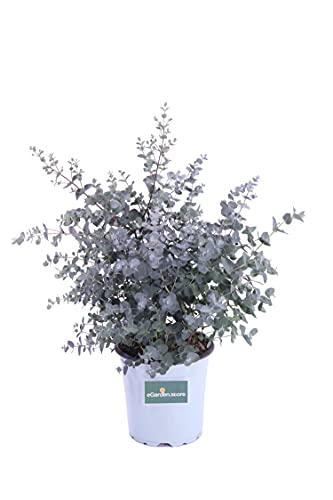 Pianta di Eucalipto o Eucalyptus Gunnii Pianta da esterno Pianta in vaso da giardino Pianta...