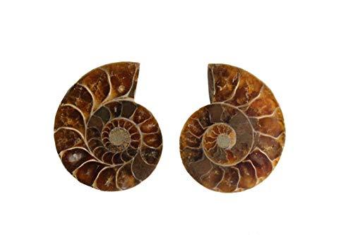 Natural Ammonite Fossil Shell Pair - Dinosaur Fossils Crystal Healing Specimen