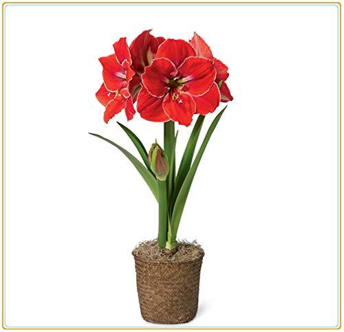 Amaryllis-Birnen-Warme Zierblumen Zu Hause, Exquisite Bio-Topfpflanzen Im Topf, Eine Blume, Die Die Liebe Symbolisiert-rot,1 Zwiebeln