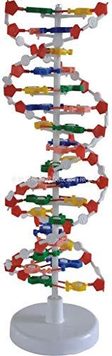 LBYLYH Alle Modelle Aus DNA-Doppelhelix-Modell, Menschliche Gene Modelle Aus DNA-Doppelhelix In Der Wissenschaft Lehrmittel Für Wissenschaftliche Kinder.