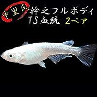 プレミアムメダカ 中里氏オリジナル幹之フルボディTS血統 2ペアセット