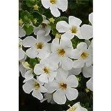 Bacopa, Sutera - Schneeflockenblume, weiss - im Topf 11 cm, in Gärtnerqualität von Blumen Eber - 11 cm