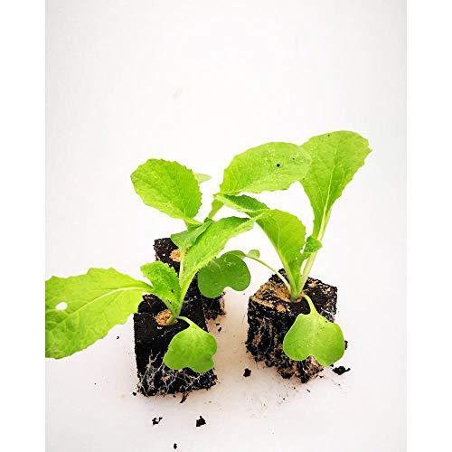 Gemüsepflanzen - Chinakohl - Brassica rapa subsp. pekinensis - Brassicaceae - 12 Pflanzen