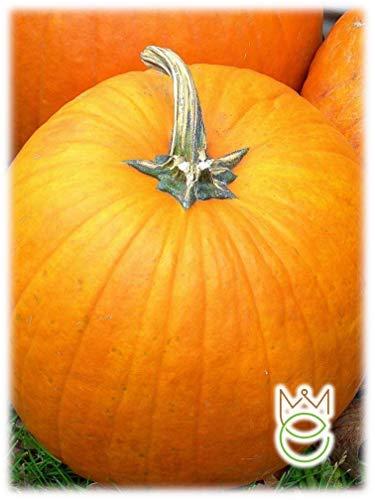 "Kürbis Quintal gelber Samen""Halloween"" Spezielle Auswahl Cucurbita maxima Samen Samen Gemüsegarten Gemüsegarten"