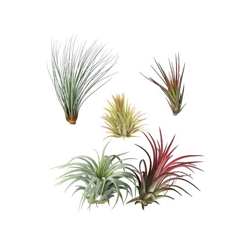 Pack de 5 Plantas del Aire Diferentes Tillandsias de Interior y Exterior Claveles del Aire