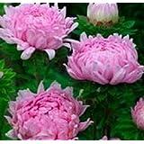 Paeony牡丹アスター種子公爵夫人コーラルローズフラワー種子の50個の種子