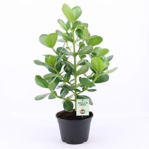 Kamerplant van Botanicly – Clusia – Hoogte: 70 cm – Clusia Rosea Princess