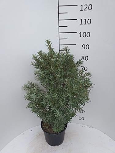Späth Sanddorn 'Hikul' LH 60-80 cm im 7,5 Liter Topf Wildobst essbar Zierstrauch winterhart 1 Pflanze