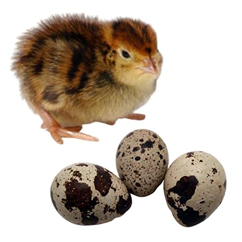 Fertile Japanese Quail Hatching Eggs