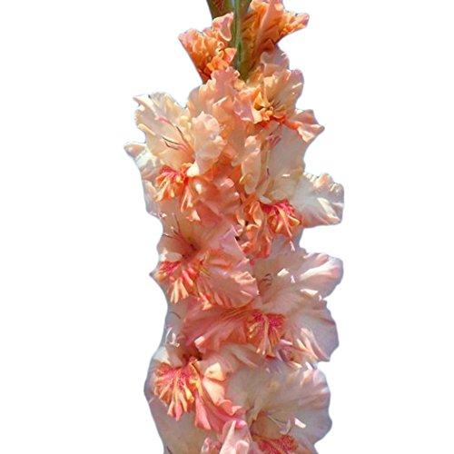 Ncient 50/100 pcs/Sac Graines de Glaïeul Épée Lily Vivaces Belle Floraison Bonsaï en Plein Air Semences de Fleurs Jardin pour l'Intérieur et l'Extérieur (50Pcs, Rouge Blanc)