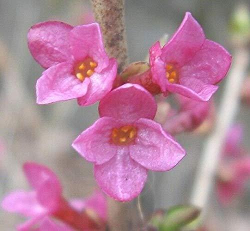 FERRY Bio-Saatgut Nicht nur Pflanzen: Daphne mezereum Februar Daphne, 100 Seeds
