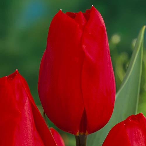 Tulpenzwiebeln Kingsblood Rot - Blumenzwiebeln, mehrjährig & robust- Späte Tulpe Kingsblood - 10 Tulpen-Zwiebeln von Garten Schlüter - Pflanzen in Top Qualität