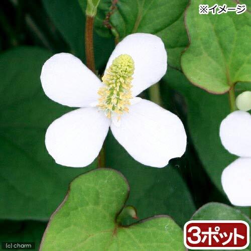 (山野草)ドクダミ 3号( 3ポットセット)