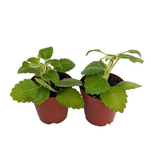 "Swedish Ivy - Plectranthus verticillatus - Easy House Plant - 2"" Pots/2 Pack"