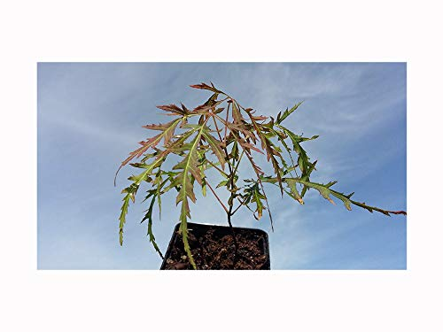Japanese Maple Beautiful Cut LEAVED Acer palmatum Dissectum Seedling - Pretty Foliage - Young, 10-15cm Tall Seedling Plant in a 7cm or 8cm Pot.
