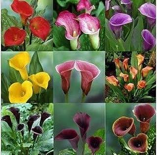 Semillas de Cala importada de Holanda Flores Seeds (no Cala Bulbos) 120 PCS de Cala Seeds