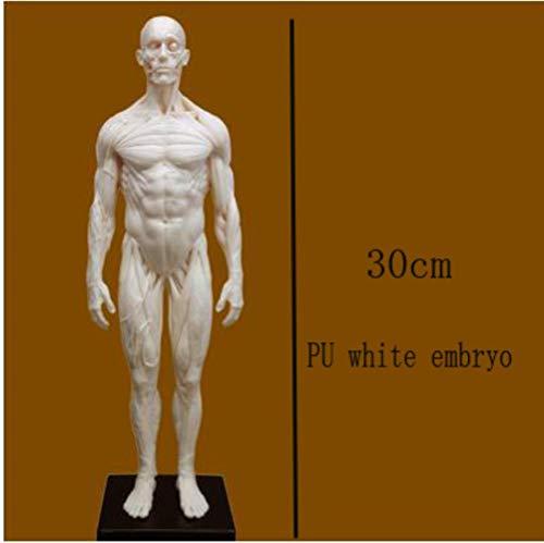 SYART Menschliches Skelett anatomisch Statue malerei Modell anatomisch anatomie schädel skulptur Kopf körper Muskelkünstler Zeichnung, c
