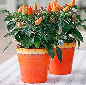 Vista Importe der ursprünglichen Art, 5 Stück/Los Zierpfeffer Samen Bonsai Pflanze DIY Hausgarten 2