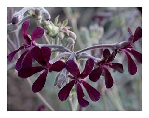SANHOC Semi Pacchetto: Pelargonium sidoides - - 2 SeedsSEED