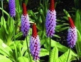 JustSeed Orchideenprimel, Primula Vialii, Blumen, 100 Samen