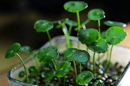 Aquarium Grass Plants Seeds,Aquatic Dichondra repens Forst Carpet Water Grass,Oxygenating Weed Live Pond Plant Seeds,Fish Aquatic Water Grass Decor,Easy to Plant Grow Maintain-10G