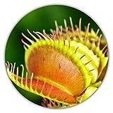 Venus atrapamoscas - Planta carnívora de Insectos (Dionaea muscipula), Aprox. 50 Semillas