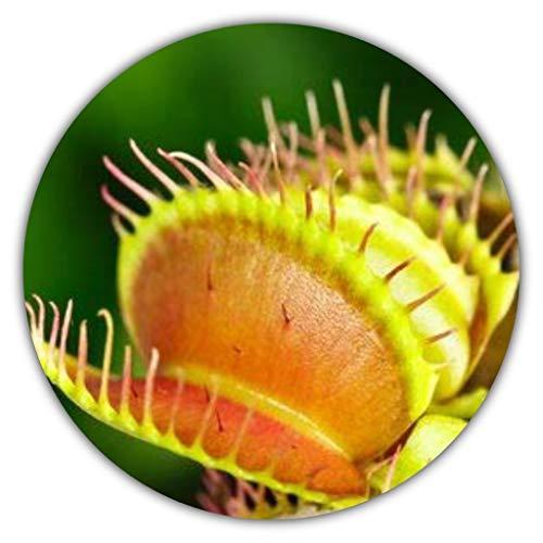 Garten-Tipps-Online.de - der Samen Versand Venus atrapamoscas - planta carnívora de insectos (Dionaea muscipula), aprox. 50 semillas