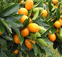 1 Kumquat Trees 1