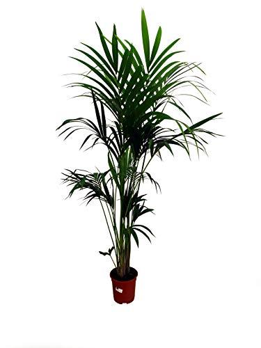 Kentia Fosteriana natural M21 palmera de 170cm perfecta para el interior del hogar.