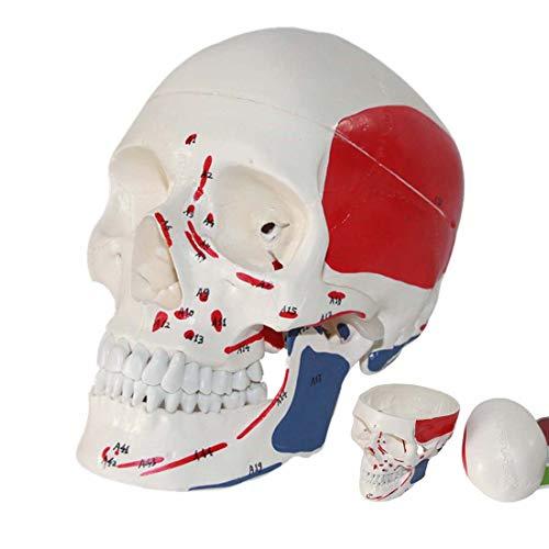 WJR Modelo de crânio humano, tamanho real, anatomia humana, cabeça esqueleto com marcas digitais, músculo e suturas, origens musculares e inserção