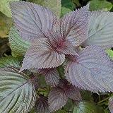 comestible de semilla de perilla Hoja púrpura de semillas de perilla Sue 50 semillas / pack