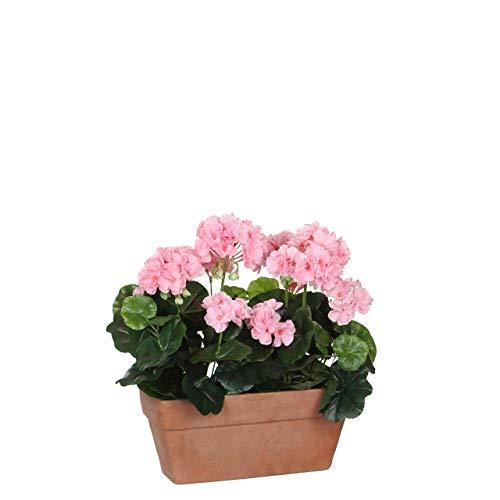 Geranium roze balkonkast terra - l29xb13xh40cm
