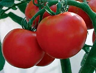 Best rutgers tomato size Reviews