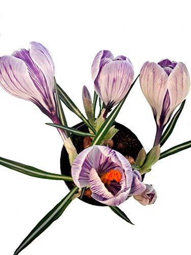 Krokusse im Topf angetrieben violett-weiß - Bienenfreundliche Frühlingspflanzen