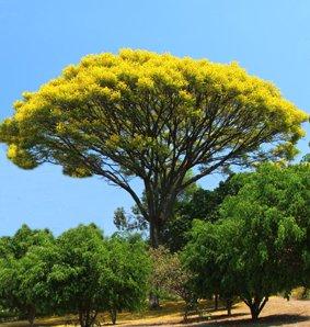 Seedeo Gelber Jacaranda (Schizolobium excelsum) 8 Samen