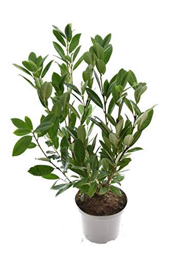 Kirschlorbeer Prunus laur. Novita, 5 Liter, 80-100 cm