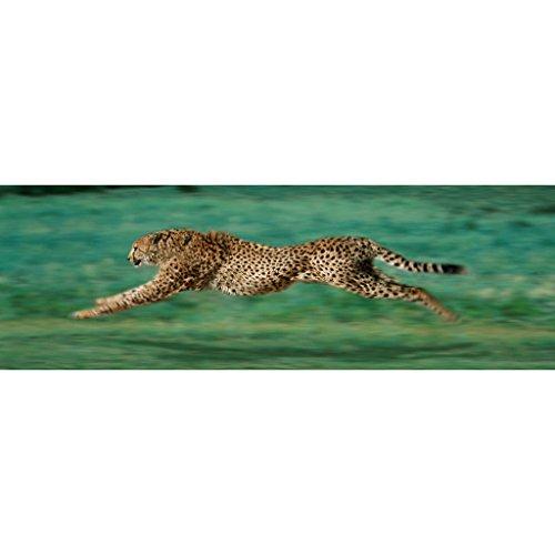 cheetah prints pictures - 3
