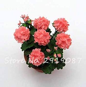 Vistaric 100pcs Rare Mini Geranium Graines Vivaces Belles Fleurs Graines Pelargonium Peltatum Graines disponibles bonsaï en pot mélange couleurs 16