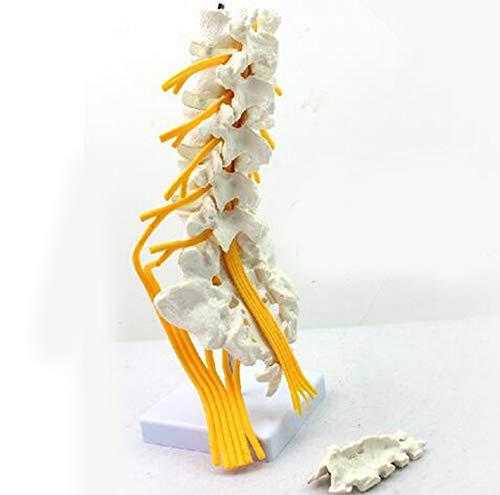 JL Modell Menschlichen Lendenwirbelsäule, Fünf-Segment-Lendenwirbelsäule Wirbel Und Schwanzwirbel Struktur Morphologie Bandscheibenvorfall Geeignet für Medizinische Lehre