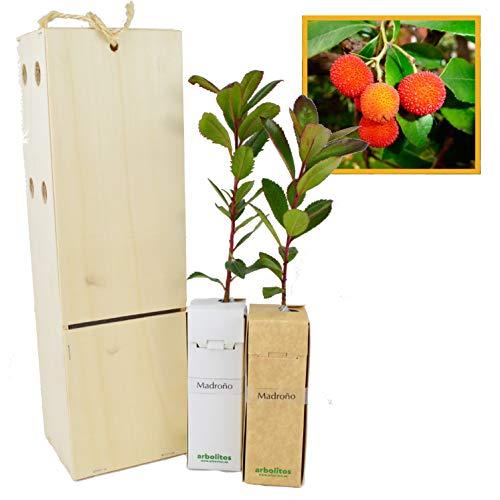 MADROÑO arbolito de pequeño tamaño en caja de madera. Alveolo forestal del arbusto madroño (2)