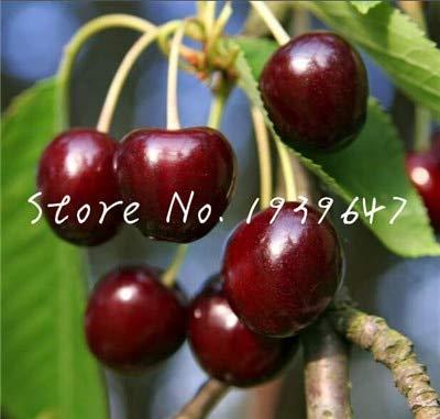 20 Stück Kirsche Bonsai Obst Bonsai Süße Sylvia Upright Kirsche Selbst Fertile Dwarf Baum Bonsai Blumentopf Hausgarten-Topf: 3