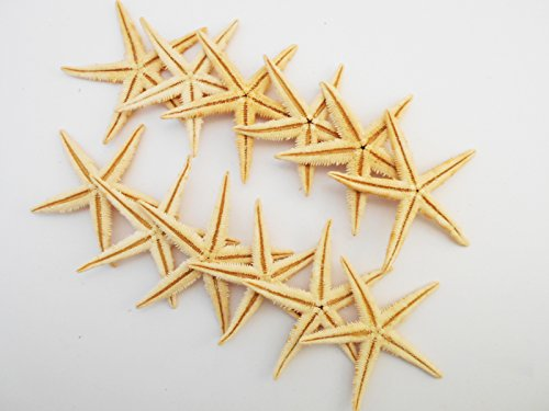 25 Extra Large Size Starfish - Philippine Tan Flat Sea Stars (3' - 4' / 75-100 mm) Beach Crafts Wedding Invitations