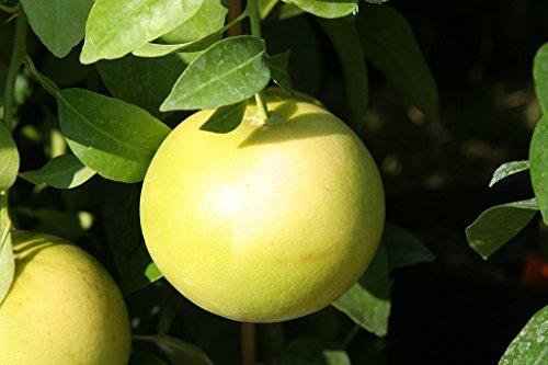 J&DV PAMPLEMOUSSIER, Pomelo Tige Citrus paradisi 60 cm