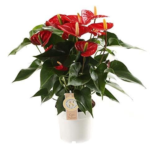 Planta de interior de Botanicly – Anturios – Altura: 50 cm – Anthurium andreanum Red Champion