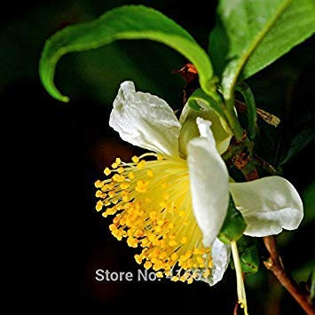 Neue Ernte Chinesischen Grüntee Baum Samen Frische CAMELLIA SINENSIS SAMEN Garten Bonsai Grüntee Blume Pflanze