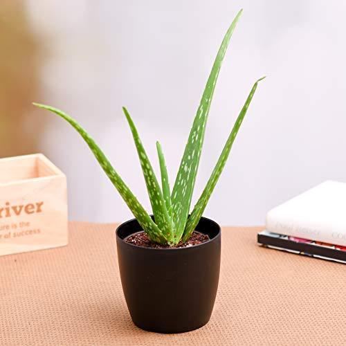 Pianta di Aloe vera in vaso ø5,5 cm MADE IN ITALY gel cosmesi piante grasse succulente