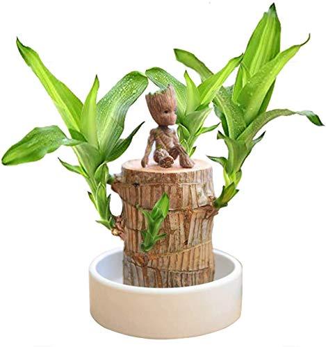 Mini Brazilian Wood Potted Plants Clean Air Lucky Wood Plant Pot Hydroponic Plants Hydroponic Tree Stump Desktop Plants 6-6.5 cm in Diameter Brazilian Wood + Groot + Base+ Cultivation Plan Page